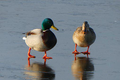 Ducks, Pair, Male And Female, Ice, Winter, Frozen Ditch