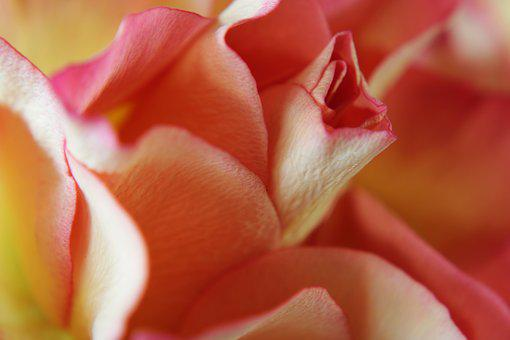 Pink Rose, Yellow Rose, Passion, Macro, Feeling
