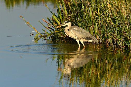 Heron, Wading Bird, Animal, Prey, Water, Pond, Fish