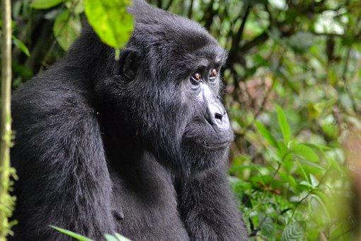 Gorilla, Uganda, Bwindi, Africa, Rainforest, Monkey