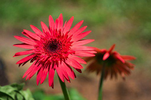Red, Daisy, Flower, Nature, Daylight, Foreground, Yard