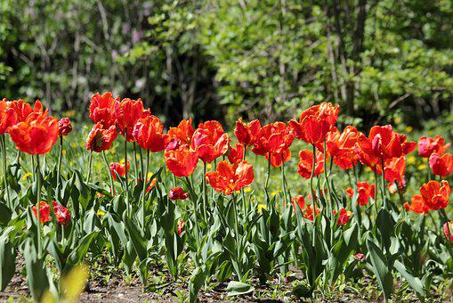 Red Tulips, Flowers, Spring, Beauty, Nature, Bright