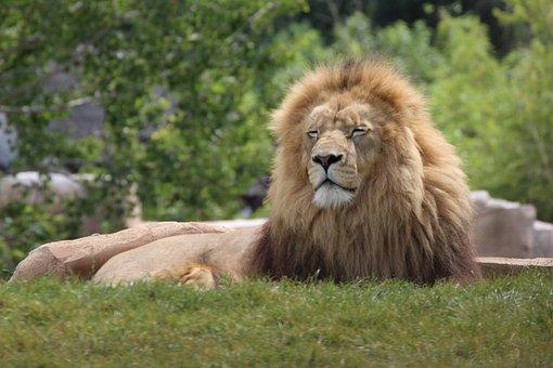 Lion, Animals, Wild, Feline, Tawny