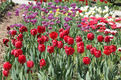 Tulips, Red, White, Lilac, Flowers, Spring, Beauty