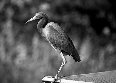 Egret, Bird, Heron, Avian, Wildlife, Nature, Landscape