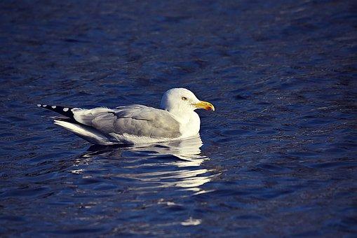 Seagull, Gull, Bird, Animal, Wildlife, Swimming, Water