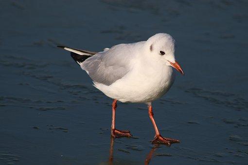 Bird, Seagulls, Seagull, Ice, Frozen, Basin, Pen, Wings