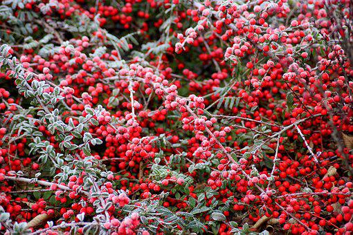 Cotoneaster, Bush, Winter, Frost, Fruit, Red, Beads