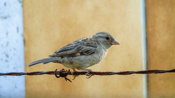 Gorrion, Bird, Ave, Birds, Sparrow, Animals, Sperling