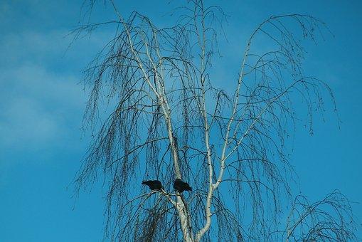 Birch, Tree, Dawson, Birds, The Bark, Winter, Nature
