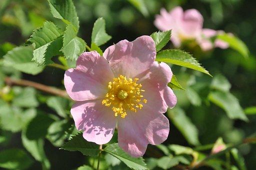 Bush Rose, Blossom, Bloom, Early Summer, Petals, Roses