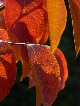Leaf, Red Leaf, Translucent, Autumn, Red, Nature, Color