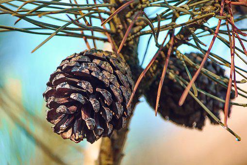 Pine Cones, Pine, Conifer, Tap, Depend, Close Up
