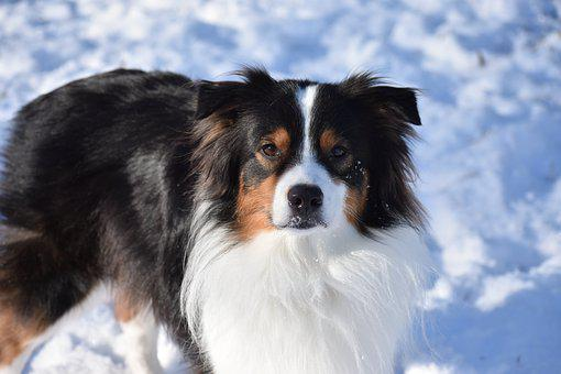 Dog, Pet, Aussie, Australian Shepherd, Puppy, Animal