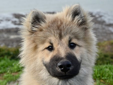 Dog, Dog Eurasier, Pup, Puppy, Dog Olaf Blue
