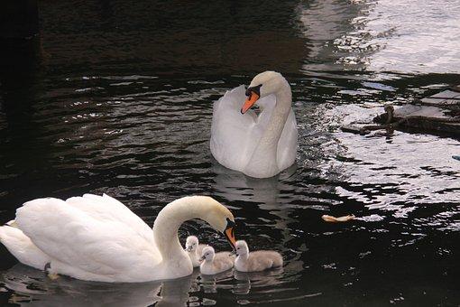 Swans, Svanepar, Birds, Cubs, Family, Natural, Wings