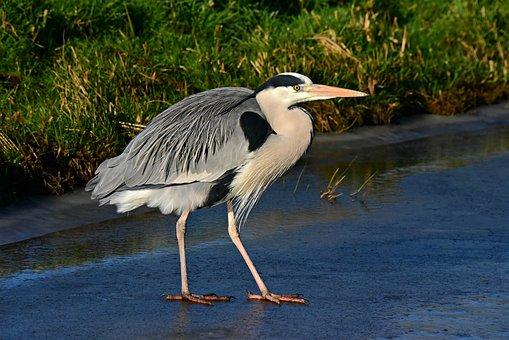 Heron, Wading Bird, Predator, Wildlife, Feather