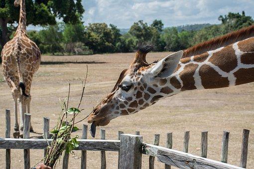 Hungry Giraffe, Safari, Feeding Time, Philippines