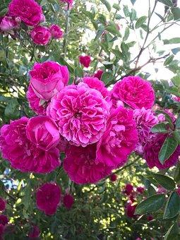 Rose, Nature, Flower, Blossom, Bloom