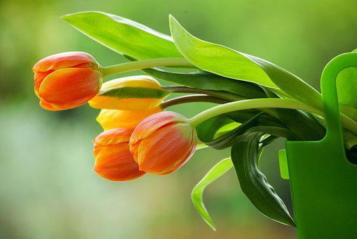 Tulips, Flower, Spring, Garden, Nature, Bloom