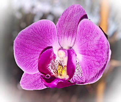Flower, Orchid, Tropical Plant, Open Flower, Pink