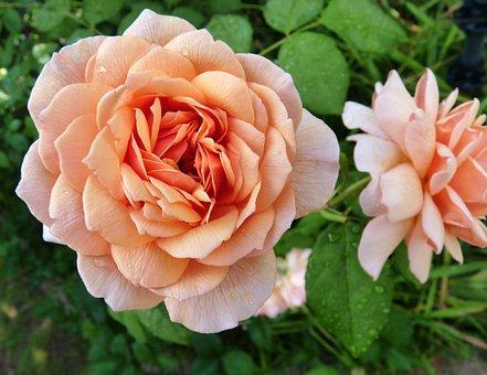 Flower, Rose, Fragrant, Garden, Nature