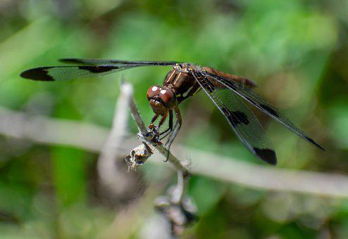 Dragonfly, Bug, Insect, Wings, Nature, Summer, Insects