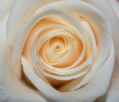Rose, White, Flower, Bloom, Love, Nature, Wedding