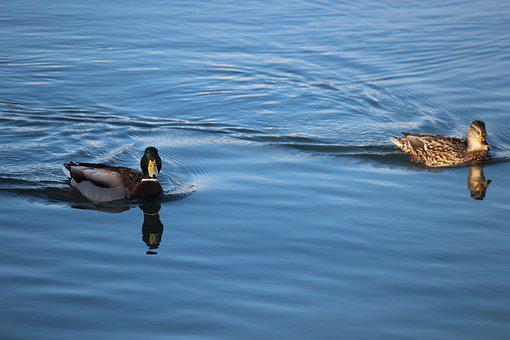 Duck, Marine, Nature, Water, Animal, Bird, Ducks, Swim