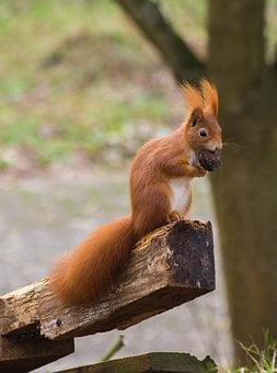 Squirrel, Red, Nut, Nature, Animal, Rodent