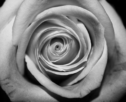 Rose, Closeup, Black And White, Flower, Nature, Love