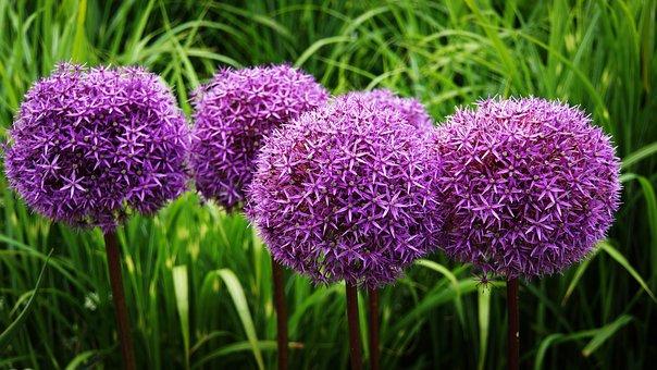 Ornamental Onion, Flower, Blossom, Bloom, Purple
