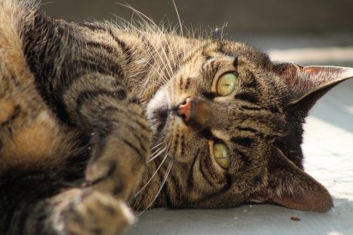 Cat, Care, Pet, Feline, Animal, Pets, Cypers Cat
