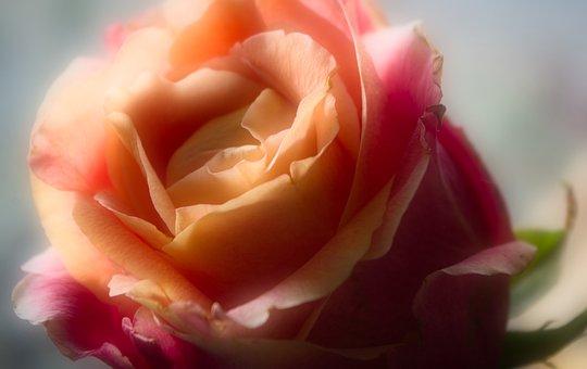 Rose, Blossom, Bloom, Pink, Flower, Petals, Beauty