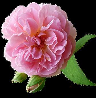 Rose, Pink, Flower, Garden, Nature