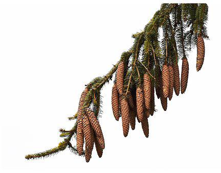 Pine, Pinecone, Plant, Fruit, Christmas, Coniferous