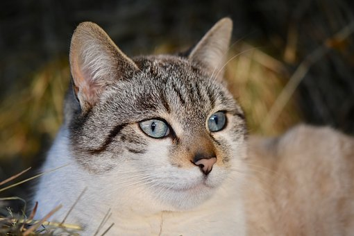 Cat, Pussy, Portrait Cat, Cat's Eyes, Blue Eyes