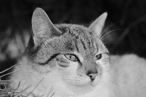 Cat, Pussy, Portrait Cat, Cat's Eyes
