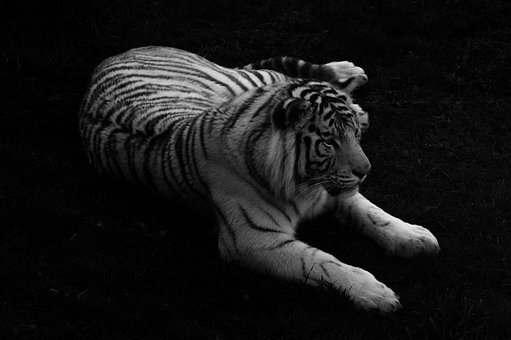 White Tiger, Tiger, White, Posing, Black And White