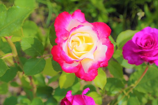 Rose, Red Rose, Red, Flower, Plant, Love, Beauty