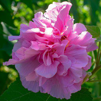 Confederate, Rose, Pink, Flower, Bloom, Floral, Plant
