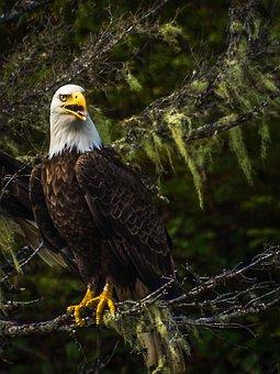 Bald Eagle, Raptor, Nature, Portrait, Majestic, Sitting