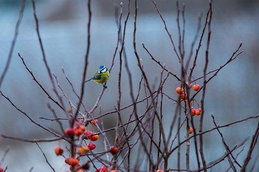 Tit, Bird, Branches, Small, Songbird, Garden