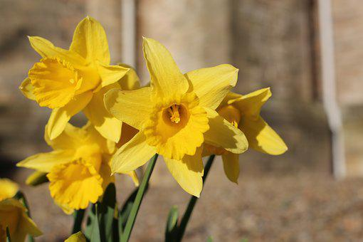 Dafodil, Flower, Daffodil, Yellow, Spring, Easter