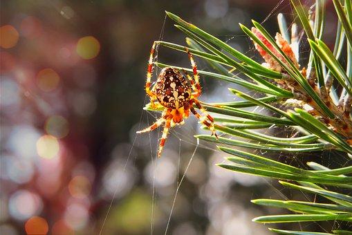 Crusader Garden, Arachnid, Spruce, Tree, Animals