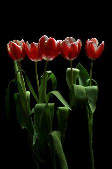 Flower, Tulip, Tulips, Spring, Garden, Nature, Bloom