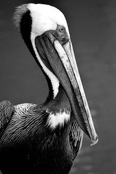 Pelican, Wildlife, Avian, Bird, Waterbird, Nature