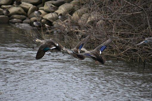 Animal, River, Waterside, Bird, Wild Birds, Duck