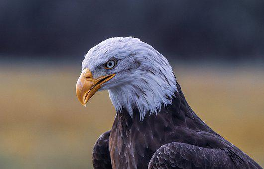 Eagle, Bird, Nature, American, Portrait, Eyes, Head