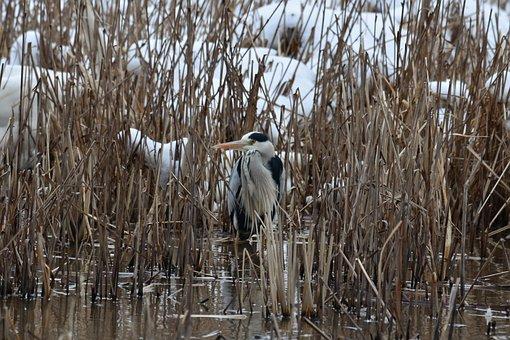 Animal, Lake, Waterside, Grass, Bird, Wild Birds, Heron